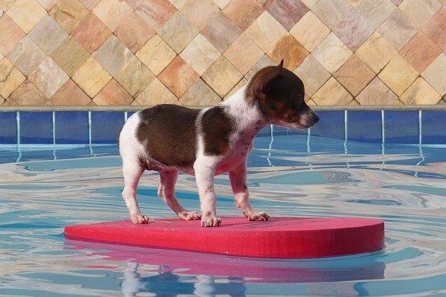čivava bazénu