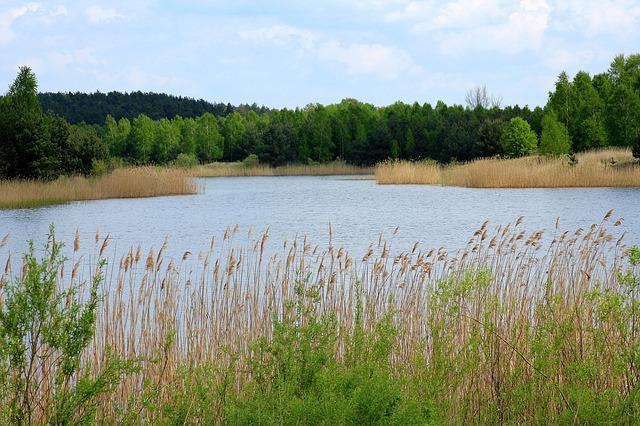 rákosí u rybníka