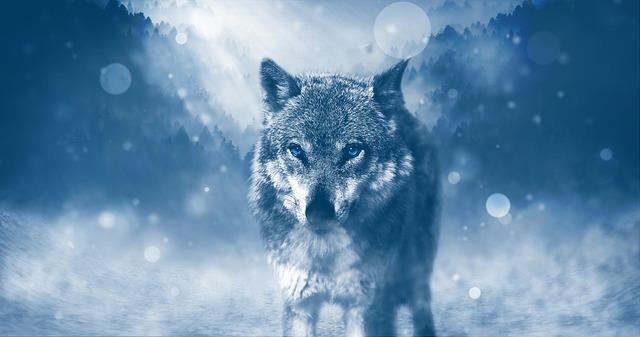 vlk v zimě